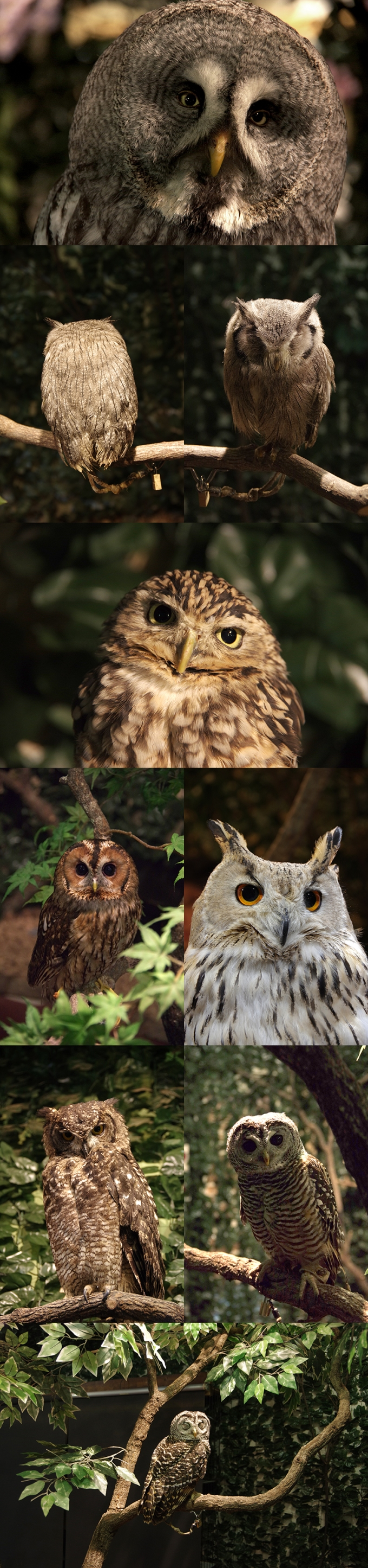 WP_owl_forest_1